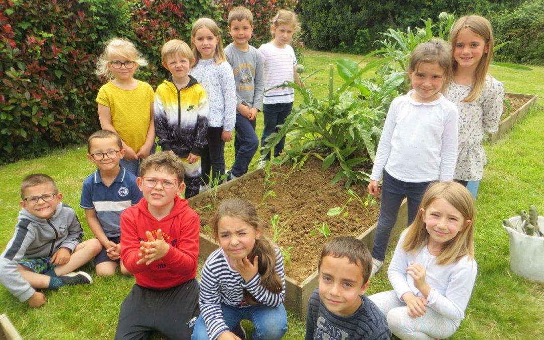 Plantation de choux au potager